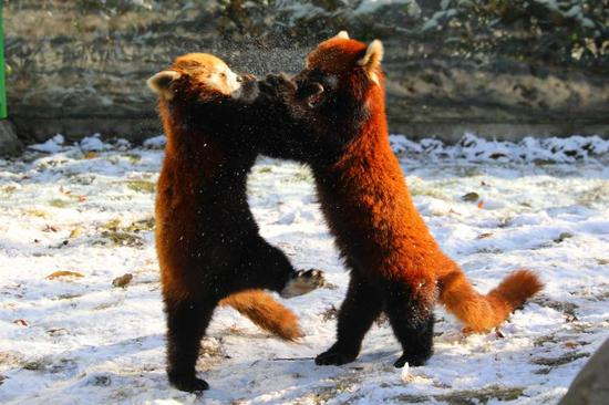 Cute red pandas have fun in snow at Changzhou Yancheng Safari Park