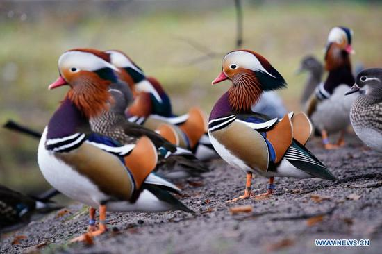 Mandarin ducks in Royal Baths park in Warsaw