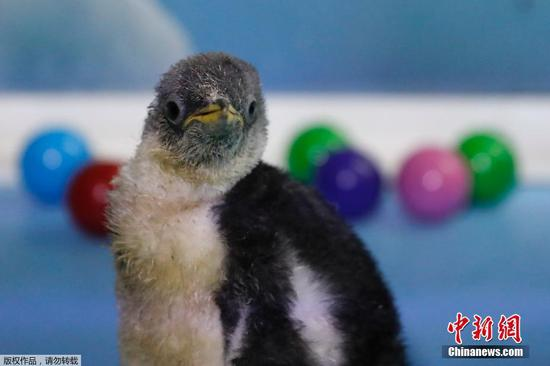 Alex, the first Antarctic penguin born in Mexico