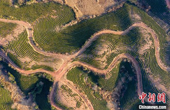 """茶园看起来像地球的""""指纹"""""""