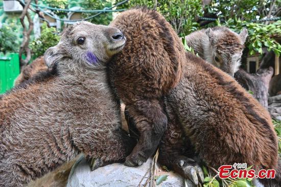 刚出生的金羚在广东接受健康检查