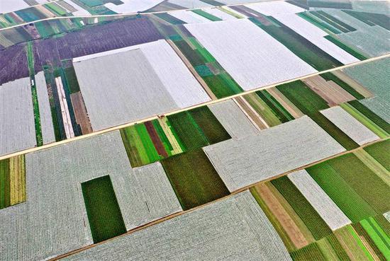 四川大型蔬菜基地获得丰收