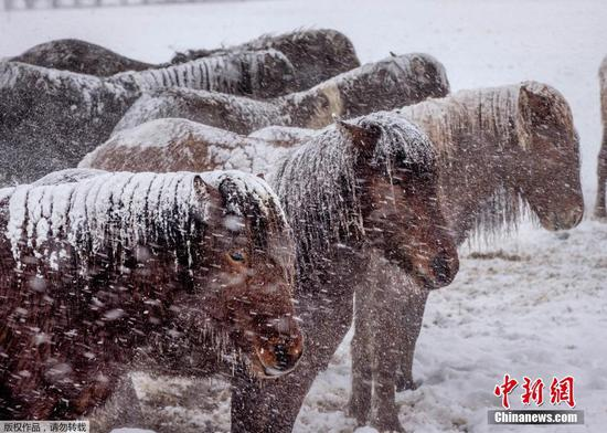 Horses brave snow storm in Germany