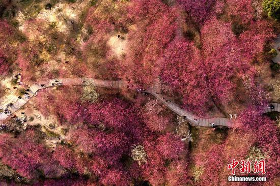 Plum blossoms at Gushan Mountain Meili scenic area in Fuzhou