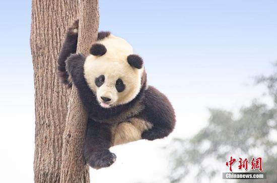 Giant pandas frolic at Sichuan's conservation base