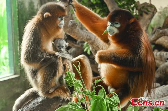 Newborn golden snub-nosed monkey makes debut in Guangzhou Chimelong Safari Park