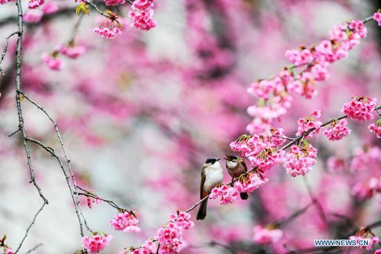 在贵阳的盛开的樱桃树