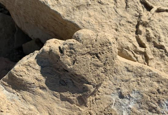 A 5.7-cm-long fossilized stegosaur track found in June, 2019 in Karamay, northwest China's Xinjiang Uygur Autonomous Region (Photo provided to Xinhua)
