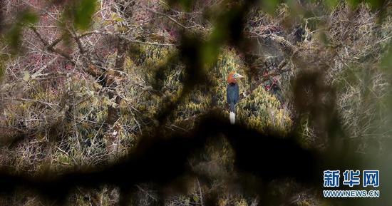 在水果机西南部发现的罕见的犀鸟