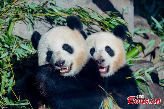 双熊猫崽嚼在竹子在柏林动物园