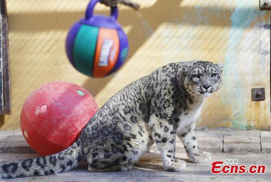 Qinghai-Tibet Plateau Wild Zoo provides new toys for animals