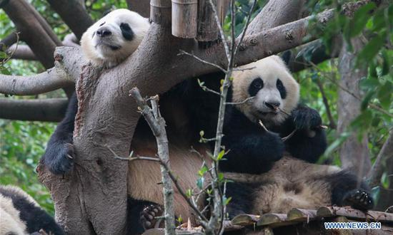 SW China's Sichuan to open panda-themed international resort in May