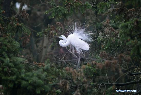Egrets seen at Xiangshan Forest Park in Nanchang, E China