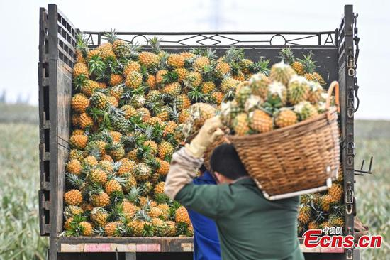 Pineapples enter harvest in Guangdong
