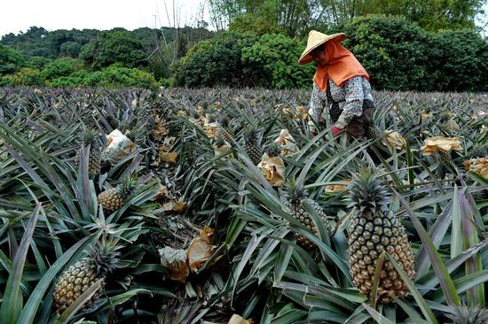 No feedback from Taiwan on substandard pineapple: mainland spokesperson