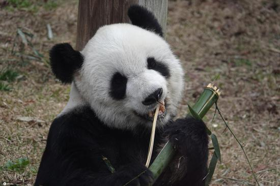 Giant pandas chew bamboo at the Memphis Zoo