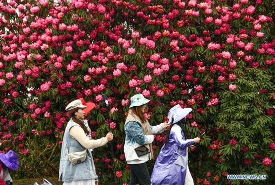 Azalea flowers enter blooming season in Guizhou, SW China