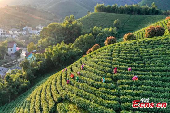 春茶采摘全摇摆在e中国