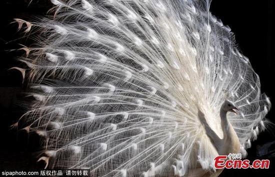 白色孔雀将其羽毛放在显示上