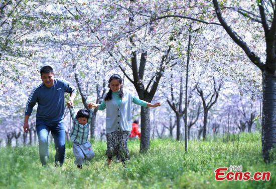 樱花绽放在中国的安徽中