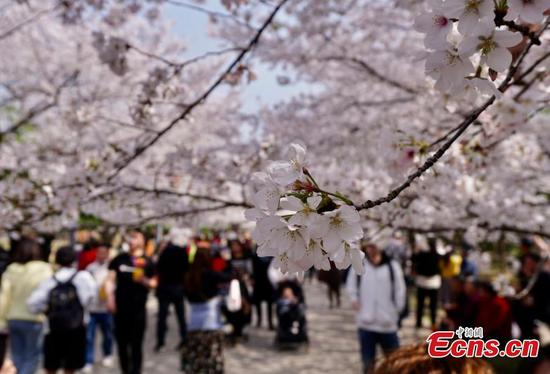 Cherry blossoms in E China's Wuxi attract visitors