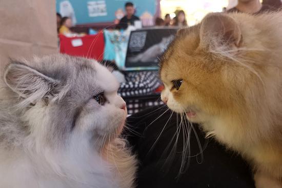 近100只猫在中国常州的美容比赛中首次亮相