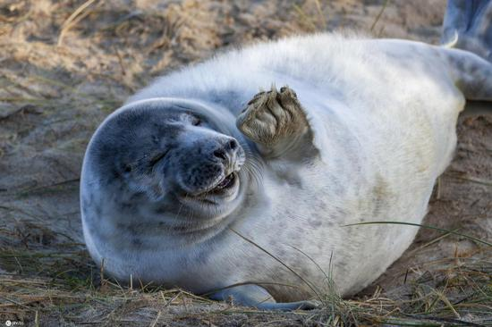 Seals lie in a lazy pose and wave hello