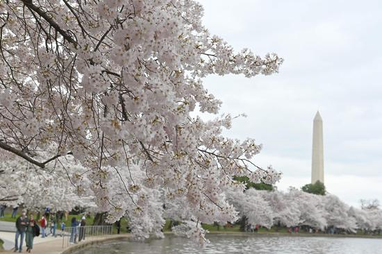 Cherry blossom season arrives in Washington D.C.