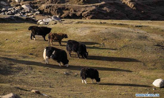 Xinjiang herdsmen use BeiDou positioning system to remotely 'graze' cattle, camels