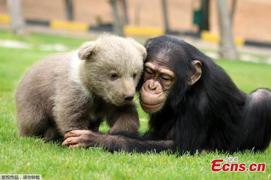 Newly-come bear cub makes friends with chimpanzee at Turkey's zoo