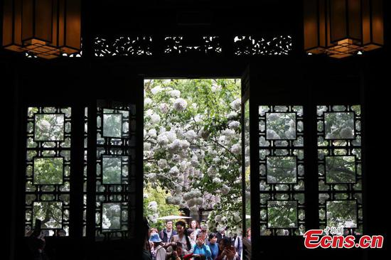 Blooming hydrangeas flowers attract visitors to Nanjing