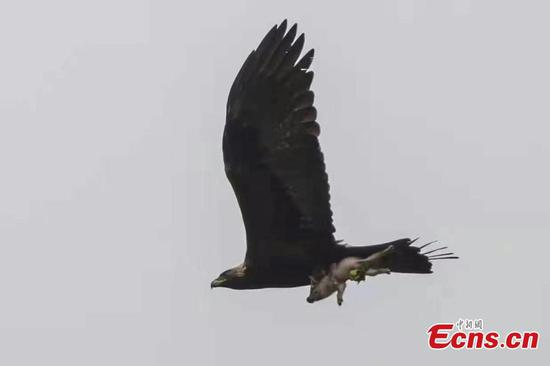 Eagle carries wild pig into the air