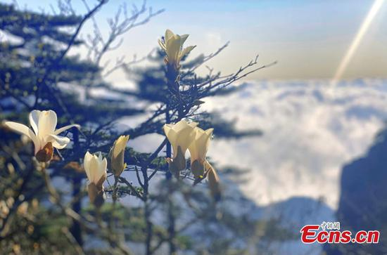 Yulan magnolia flowers bloom on top of Huangshan Mountain