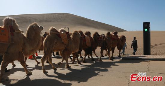 Traffic light for camels debuts in Gansu
