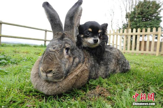 Owner of world's largest rabbit offers about 1,378 U.S. dollars reward after it was stolen