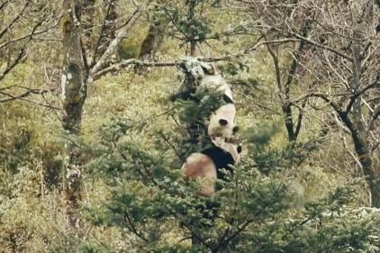 Surveillance video captures fierce panda brawl