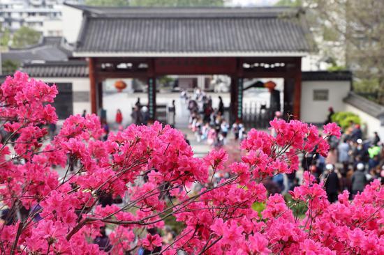 Azalea flowers bloom under Ming Dynasty City Wall in Nanjing