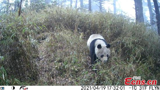Real-time image of wild giant panda captured by infrared camera