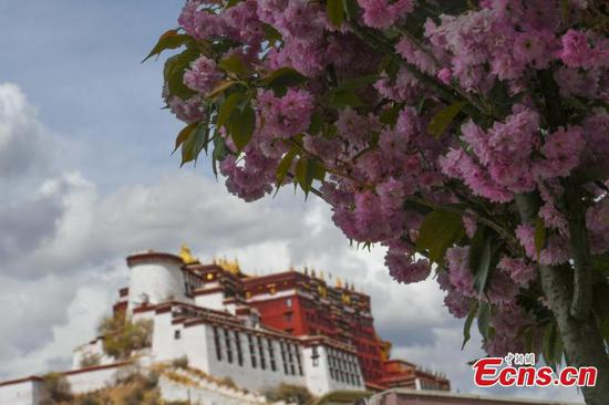Cherry blossoms bloom at foot of Potala Palace in Lhasa