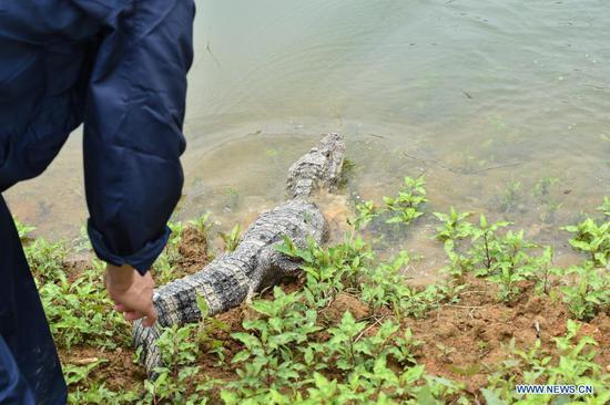 Artificially bred Yangtze alligators released in Anhui
