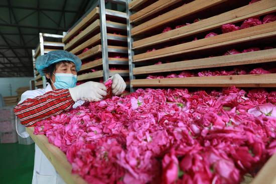 Blooming roses promote rural revitalization in North China's Hebei