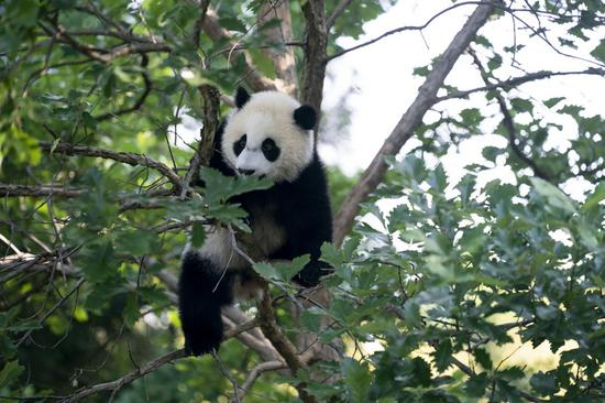 Healthy and happy, panda cub Xiao Qi Ji ready to welcome visitors from across U.S.