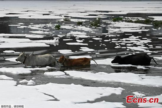 Cattles wade through polluted river in India