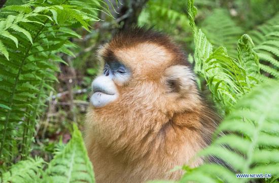 Golden monkeys in Shennongjia National Park