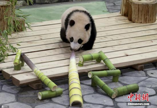 Panda cub 'Feng Bin' receives awesome gift in Japan