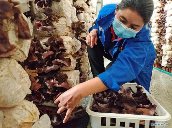 Pic story of Luopu's edible fungi industry in Xinjiang