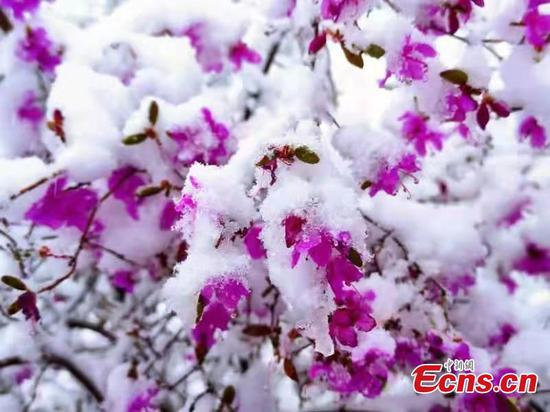 Snow-covered Azalea flowers in N China create unseasonal summer scenery