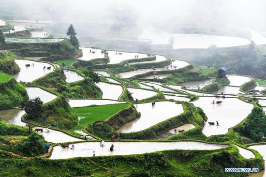 Farmers and farm cattle work in terraced fields in Liping County, Guizhou