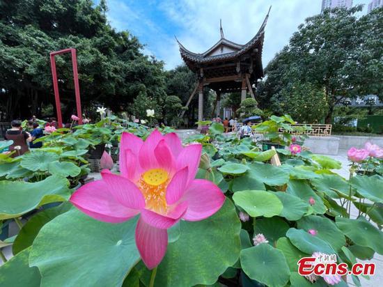 Lotus flowers bloom in Fuzhou in early summer