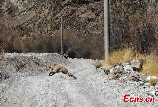 Precious snow leopard found in NW China